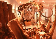 Woolly rhinoceros skeleton and woolly mammoth