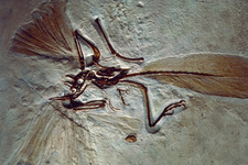 Archaeopteryx fossil, a bird-like reptile