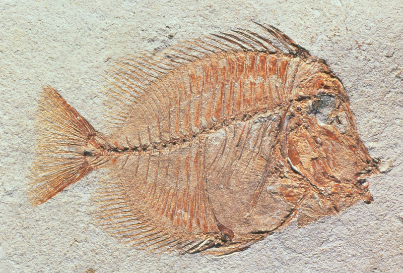 Fossil unicorn fish from Eocene period