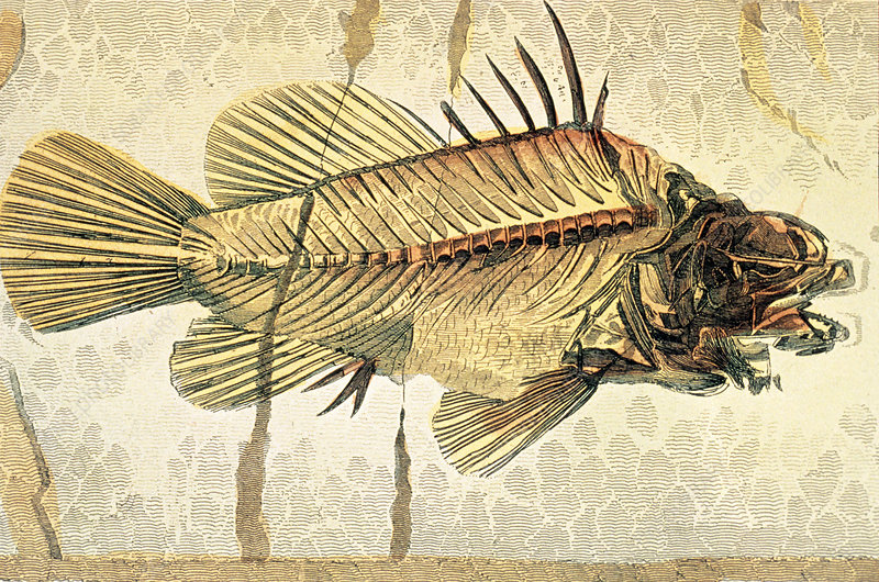 Historical illustration of fossil perch fish