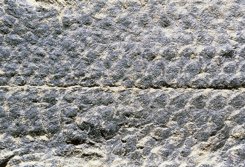 Fossil scales of lungfish from Devonian era