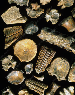 Assortment of fish fossils from the Paleocene