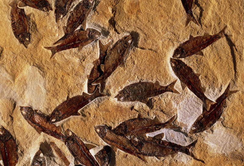 Shoal of fossilised fish, Knightia alta