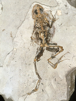 Fossilised frog embedded in rock