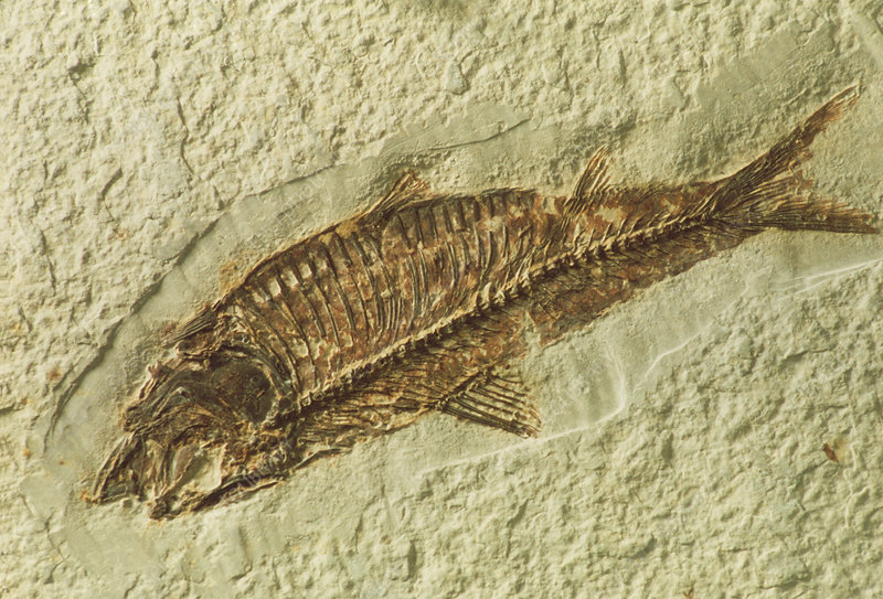 Fossil Knightia sp. fish