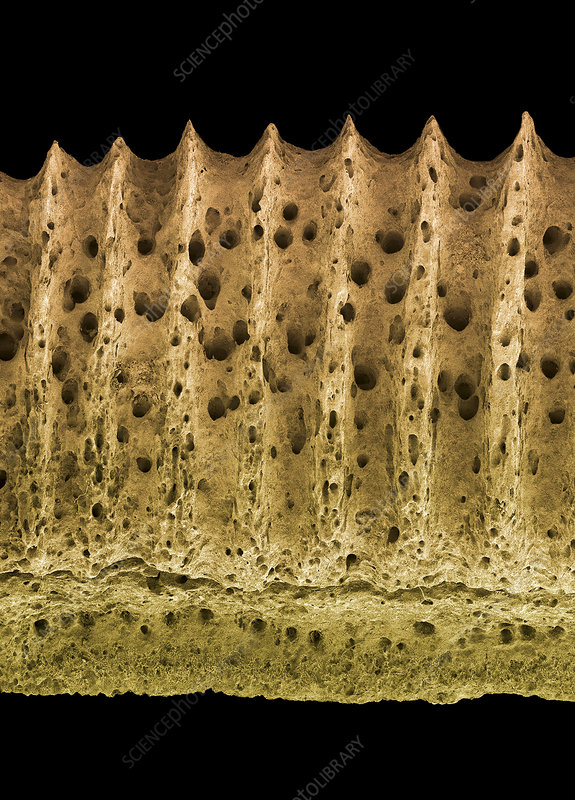 Fossilised ray tooth plate, SEM