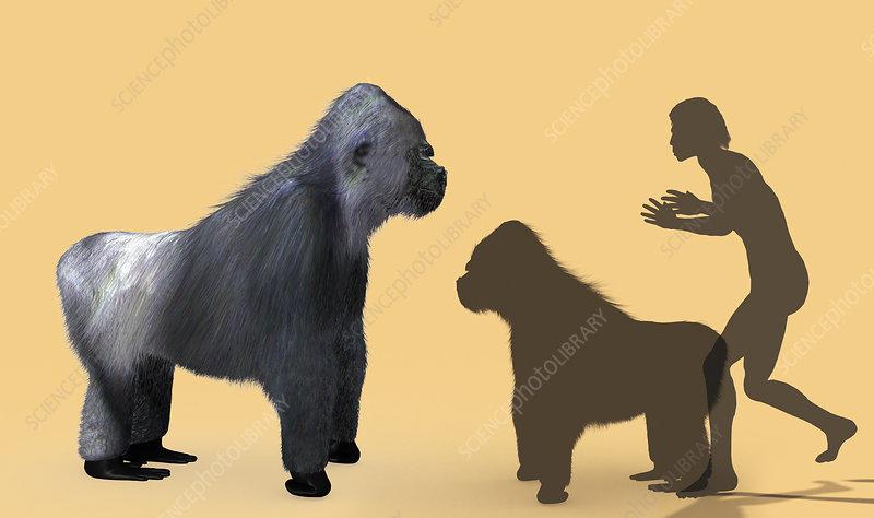 Extinct giant gorilla - Stock Image E445/0227 - Science ...