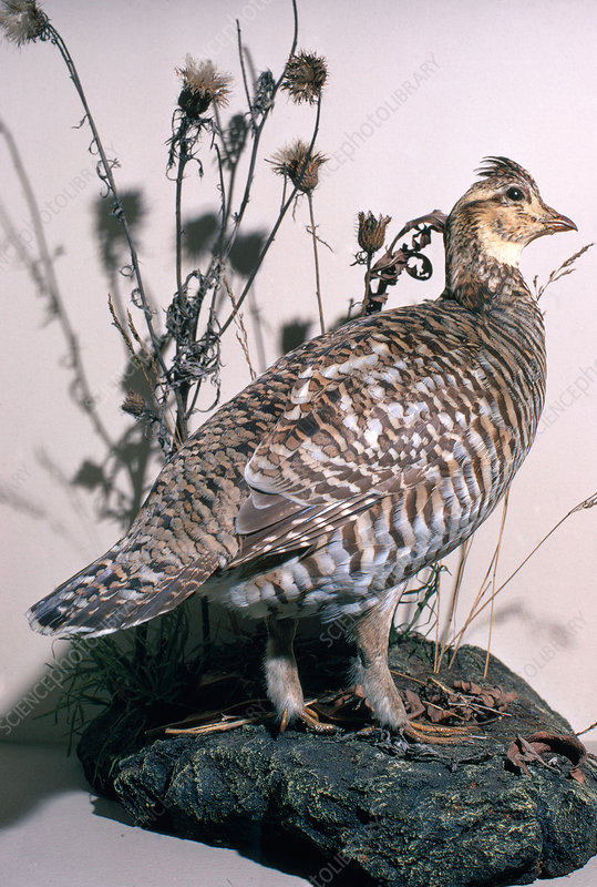 Extinct Heath Hen