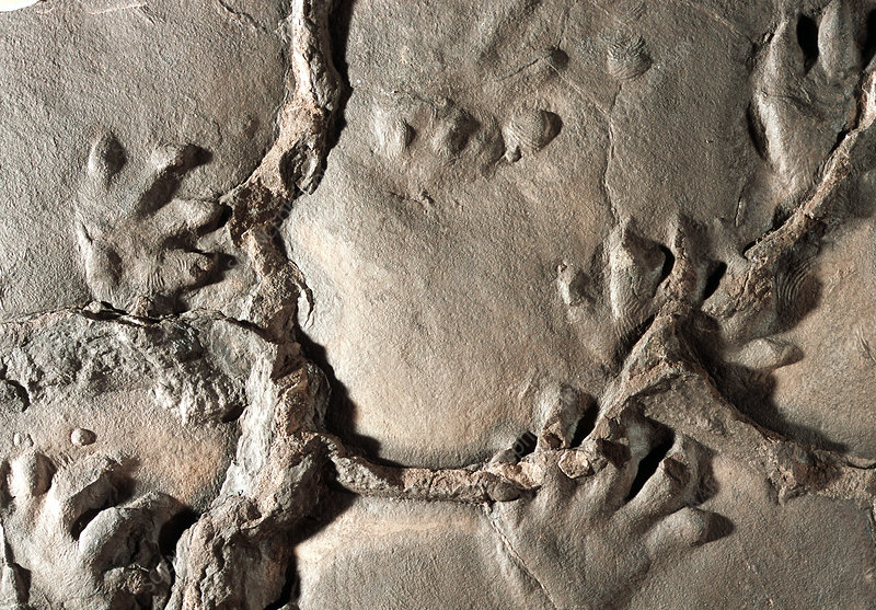Fossilised Chirotherium footprints