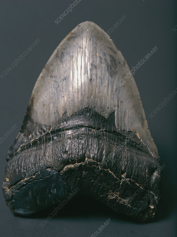 Fossilised shark tooth