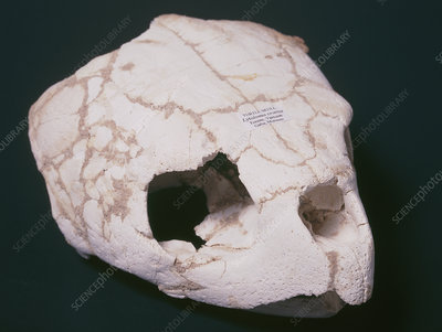 Fossilised turtle skull