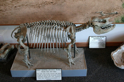 Fossil skeleton of baby Barrel-Bodied Rhino