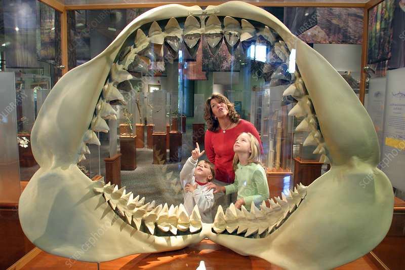 Giant Teeth Nc Museum Of Natural Sciences