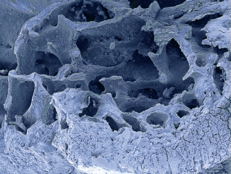 Fossilised bird bone, SEM