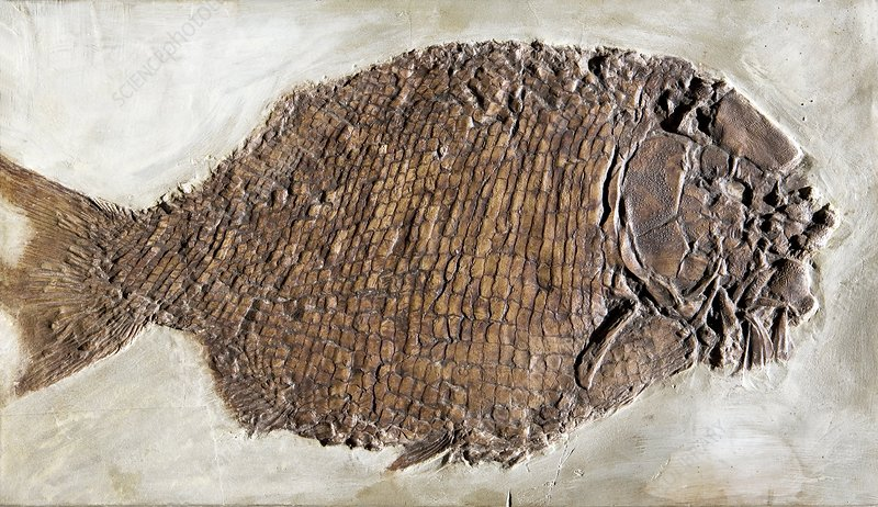 Fossil fish, Dapedium punctatus