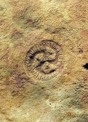 Tribrachidium fossil