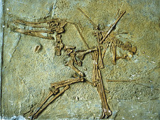 Fossil remains of the Pterodactyl