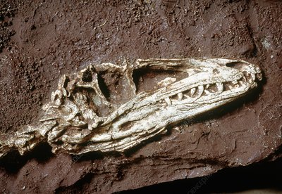 Fossil of Coelurosaur, the bird-like dinosaur