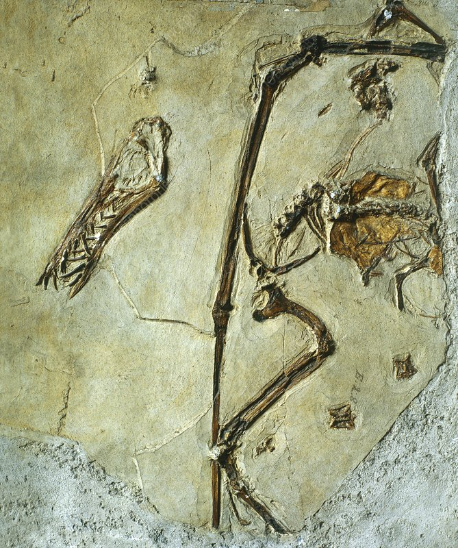 Fossil of the pterodactyl, Rhamphorynchus