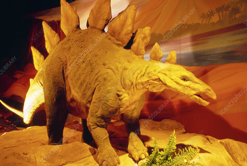 Reconstruction of dinosaur, Stegosaurus