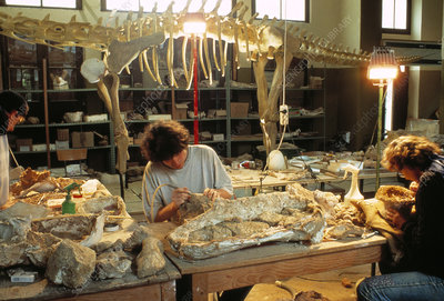 Palaeontologists cleaning fossils in laboratory