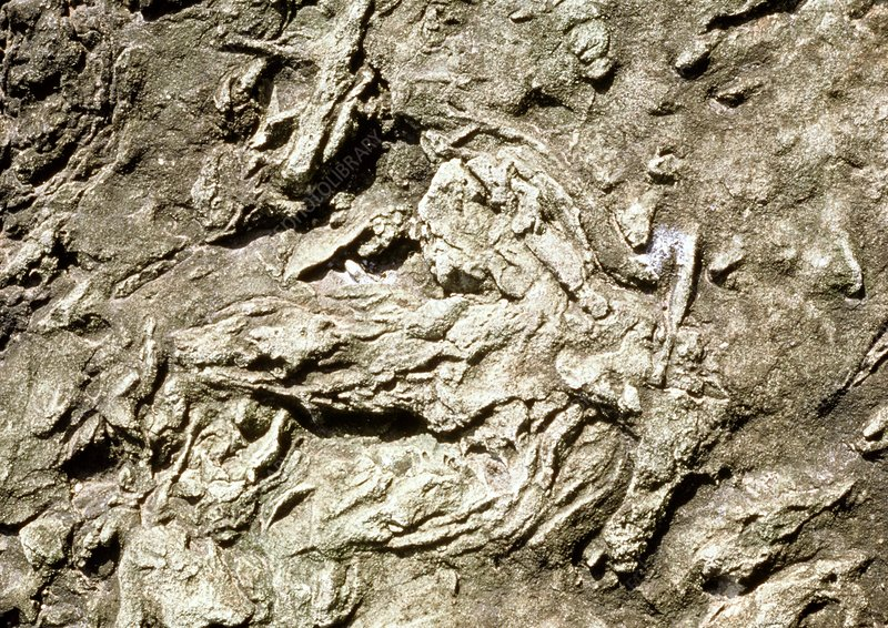 Fossil footprints made by swimming dinosaur