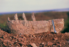 Jawbone and teeth of largest meat-eating dinosaur