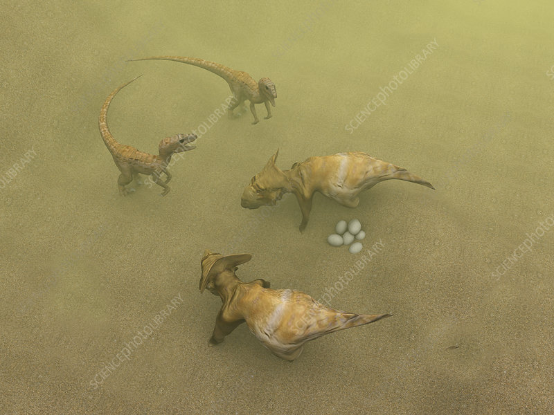 Protoceratops dinosaurs defending eggs