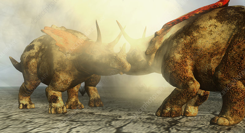 Pentaceratops dinosaurs fighting