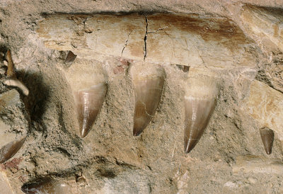 Fossilised mosasaur teeth