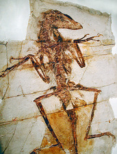 Feathered dinosaur fossil