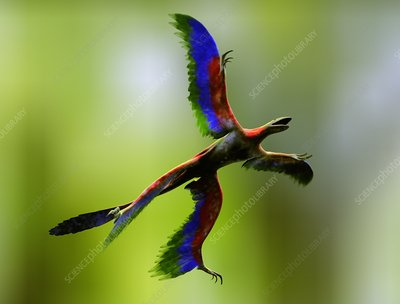 Microraptor dinosaur flying, artwork