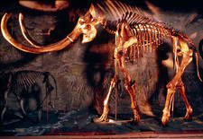 Skeleton of Columbian mammoth, Mammuthus columbi