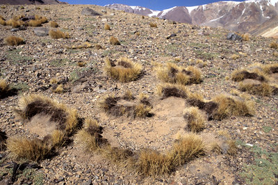 'Grass tussocks, Andes, Argentina'