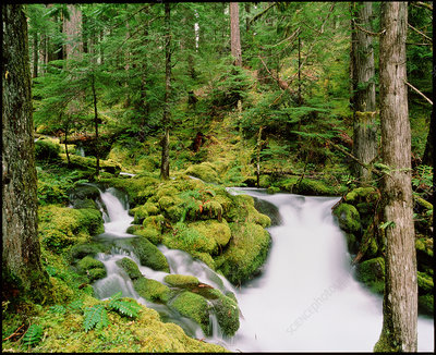 Stream waterfall surrounded by trees and moss.
