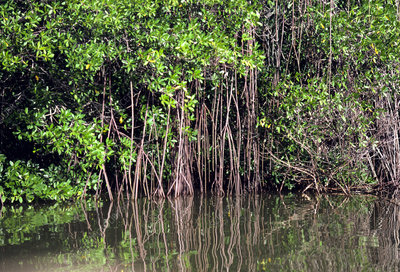Mangrove tree in swamp off Venezuela