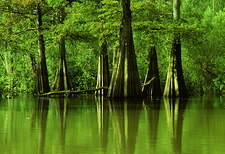 Cypress trees in a swamp.