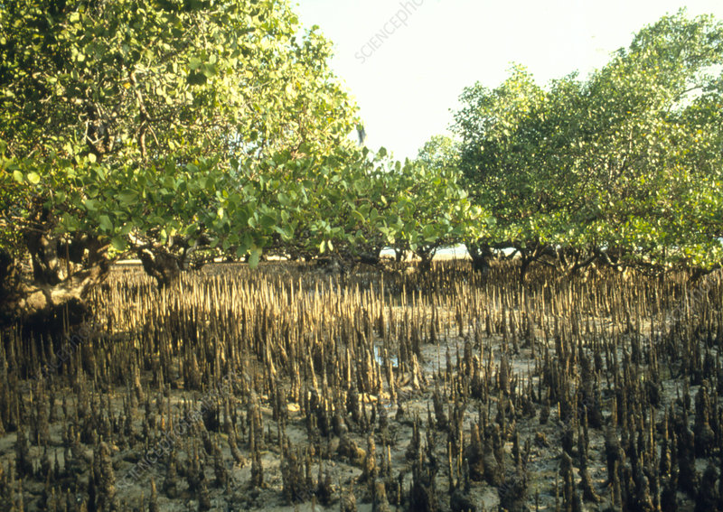 Mud flat in a mangrove swamp, Indonesia.