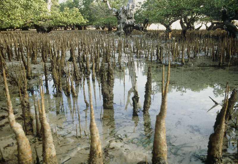 Mangrove swamp Indonesia