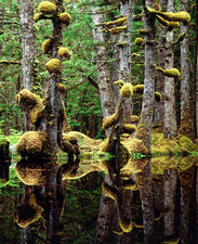 Moss-covered tree trunks reflecting in swamp water