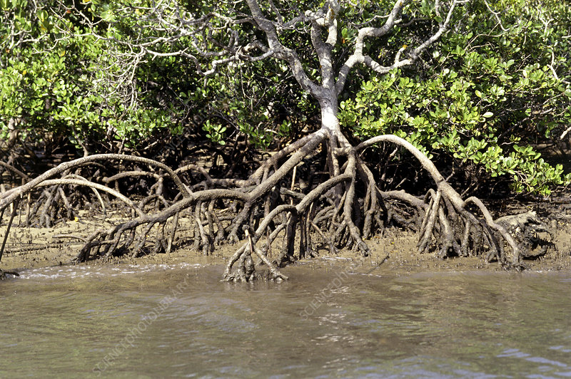 Mangrove plant with aerial roots