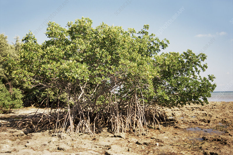Mangrove trees (Rhizophora sp.)