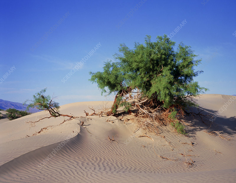 Sand dunes in Death Valley with Mesquite tree