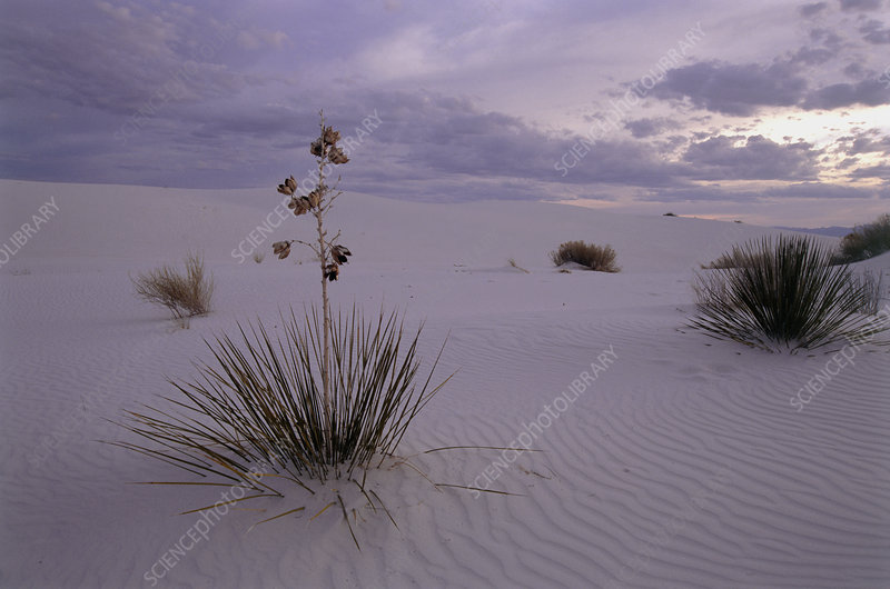 Yucca plants growing in the desert sand