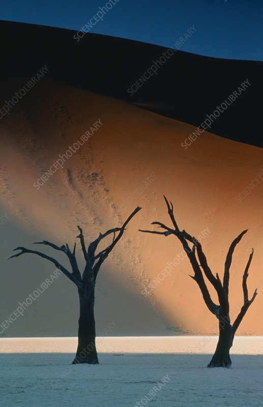 Silhouetted trees in front of sand dunes, Namibia