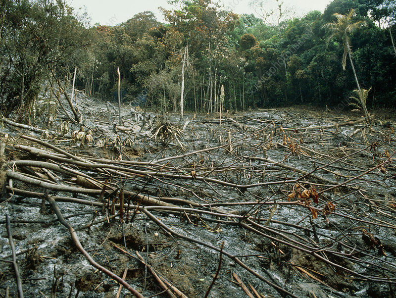 Clearing of the rainforest (deforestation)