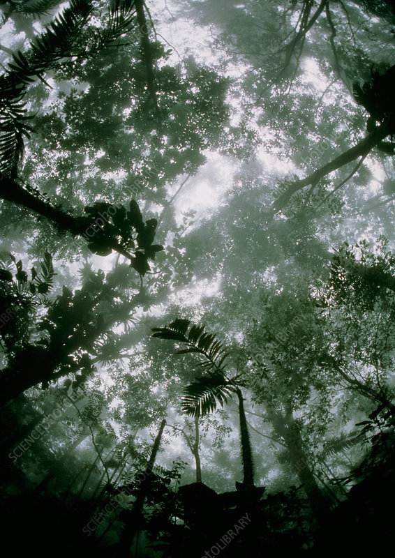 Rainforest canopy on a misty morning, Venezuela.