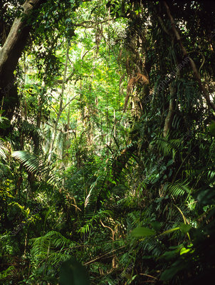 Understory vegetation of a tropical forest, Gambia