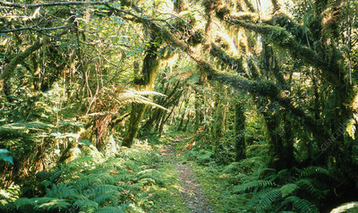 Temperate rain forest, New Zealand