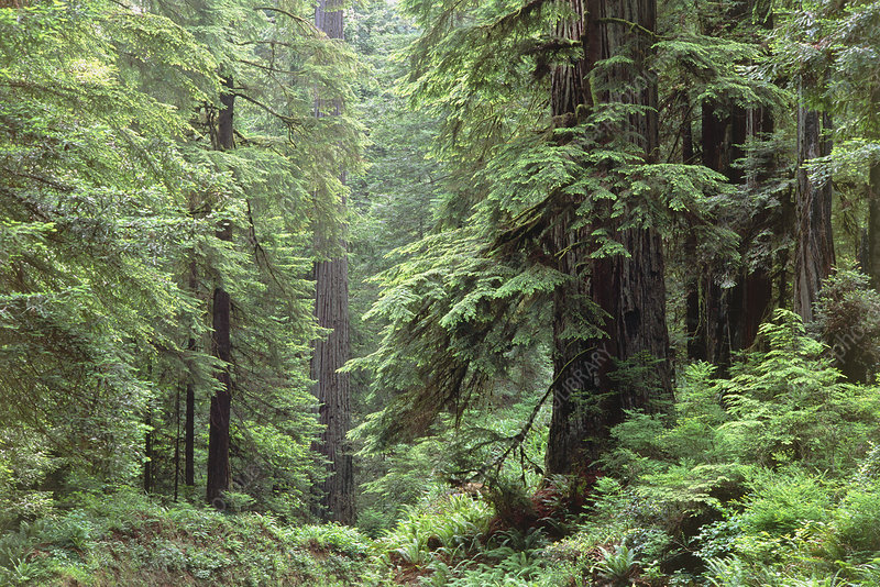 Hemlocks and redwoods in a North American forest